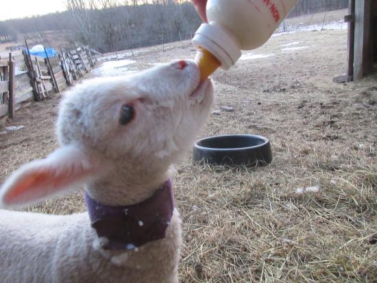 Callicoon Center, État de New York : Bottle fed spring lamb