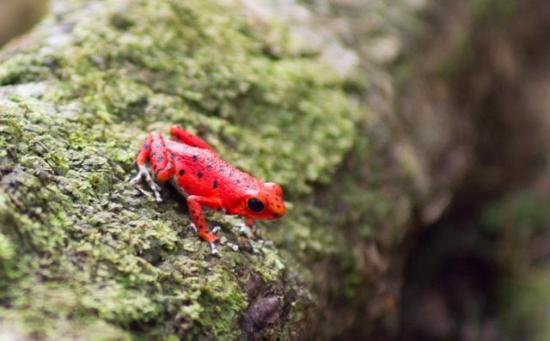 Red Frog Beach Island Resort & Spa: Did this frog forget to wear sunscreen or is he just wearing a Christmas onesie?