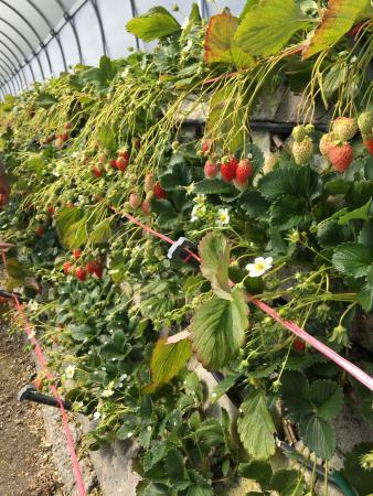 Mt.Kuno Strawberry Picking : 石垣からたくさんのイチゴ。(中はポカポカ)