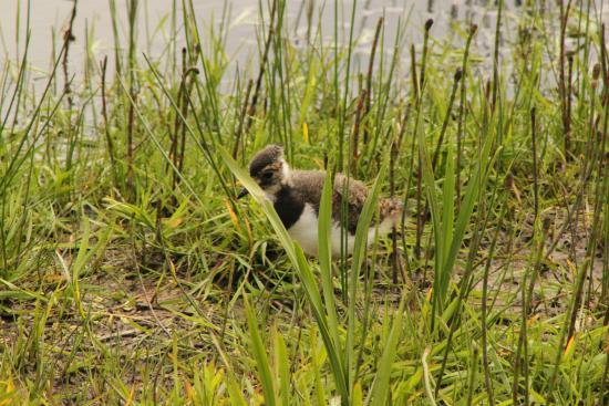 RSPB Loch Gruinart Reserve : An unidentified bird in the marsh