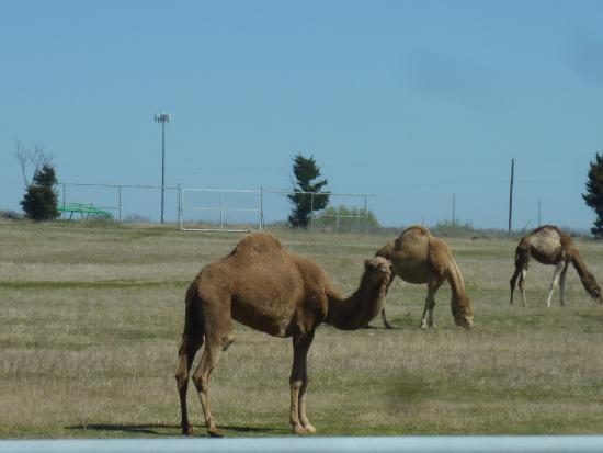 Pilot Point, TX: Lots of Camels in the Camel pasture, you can also feed them and pet them