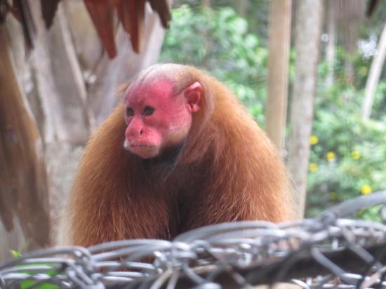 Amazon Rainforest Lodge: Mono en Mariposario Pilpintuwasi
