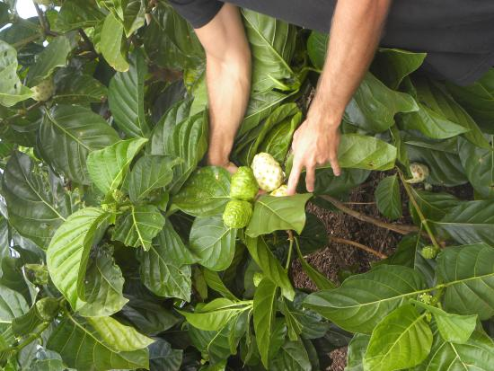 Kilauea, Hawái: 3 Noni's on 1 stem