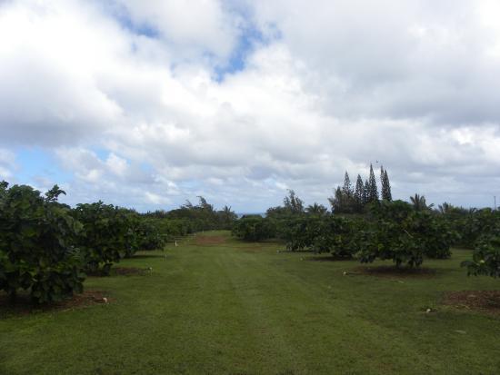 Kilauea, Hawái: View of the orchard