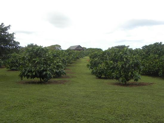 Kilauea, HI: more of the orchard 37 acres in all if I remember correctly