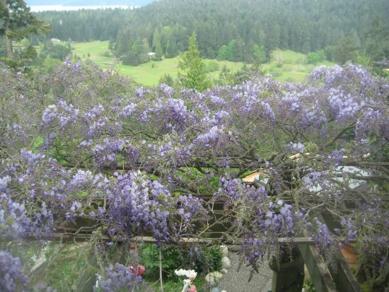 Hummingbird Hill Bed & Breakfast: You'll be looking up at this overhanging wisteria