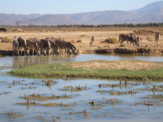 Inverdoorn Game Reserve: a group of zebras