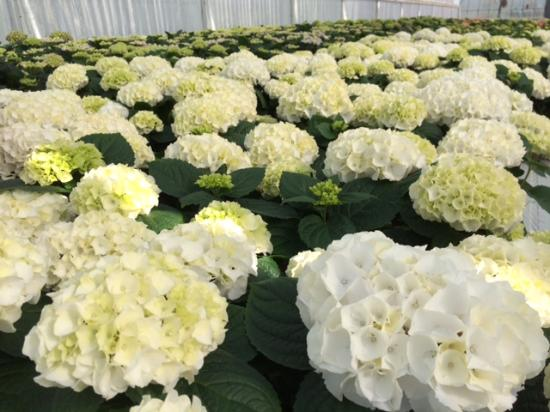 Staplehurst Nurseries Frankie S Farm Hydrangea Crop Grown On The Nursery