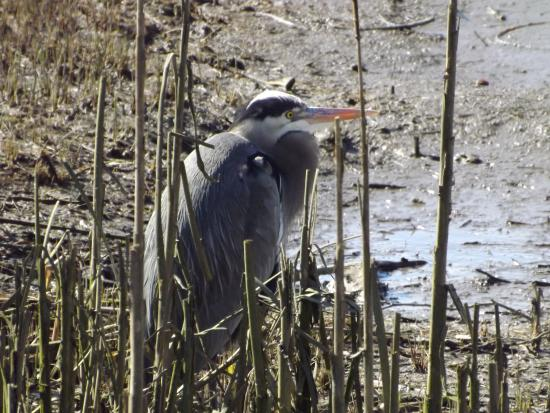 Great Blue Heron resting in the marsh of the Lagoon at the Courtenay Airpark