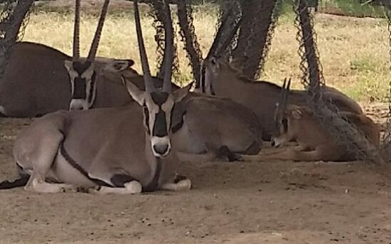 Litchfield Park, AZ: Herd of Oryx relaxing in the shade. Wildlife World Zoo