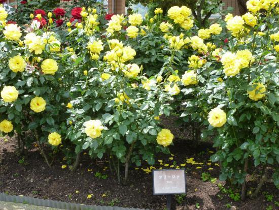 Kanazawa Minami Sports Park Rose Garden