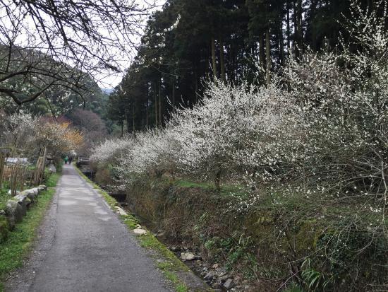 Shirakidani Plum Grove