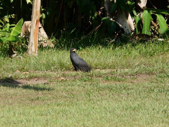 Drake Bay, Costa Rica: Black hawk (Corcovado Tour)