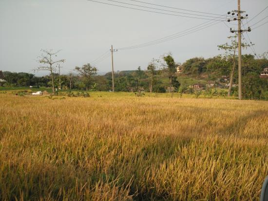Pandaan Indonesia  City new picture : Pandaan, Indonesia: sawah tepi jalan