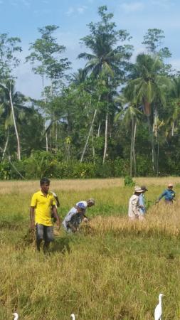 Idle Tours: Les rizières