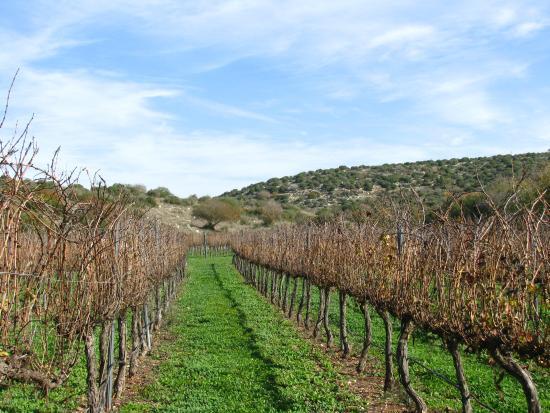 Tsafririm, Izrael: The vineyards