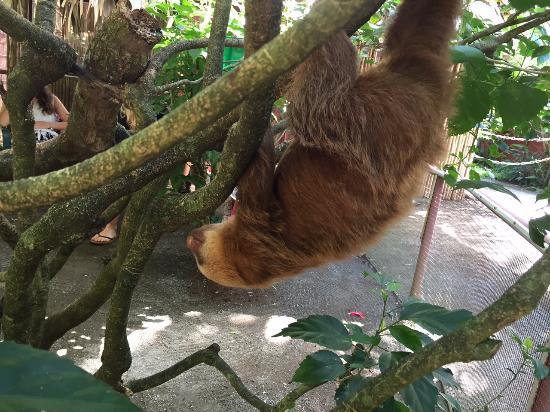 Gecko Trail - Day Tours : Baby sloth at Jaguar Rescue Centre