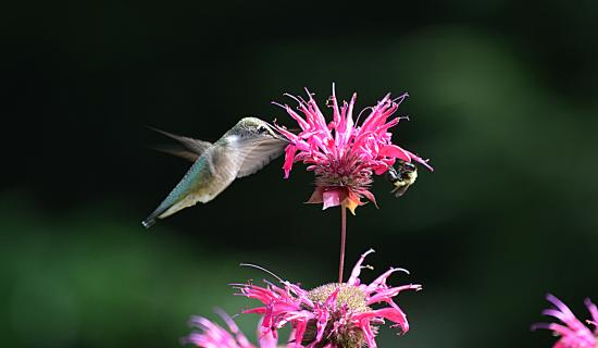 Chestertown, NY: Hummingbird Performance 2