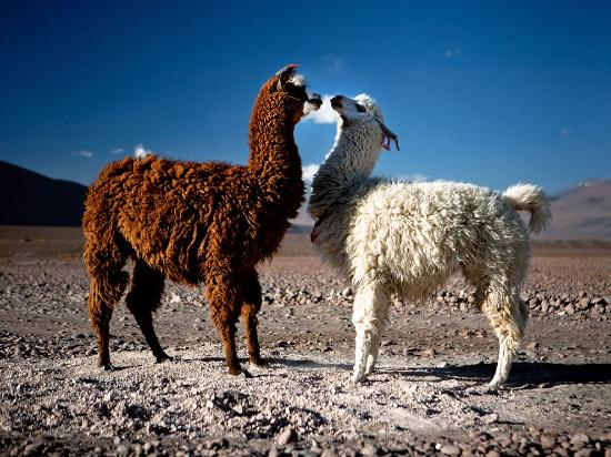 Lamas in Bolivia - Picture of Bolivia Holiday Planner-Day Tours ...