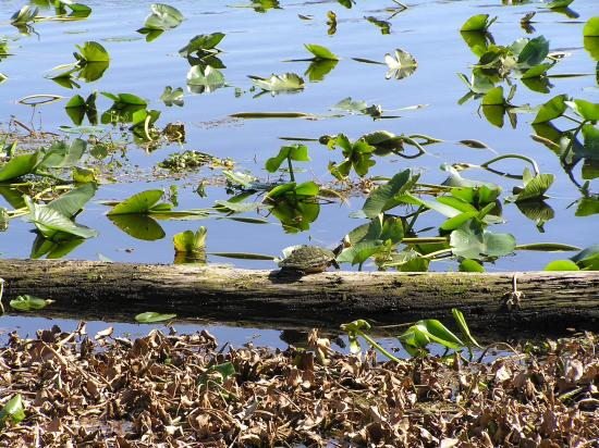 Green Cove Springs, FL: A turtle sunning off the boardwalk