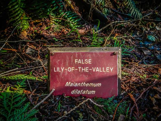 Sequim, WA: as I walked through the forest I saw this sign--I have never heard of a FALSE lily of valley