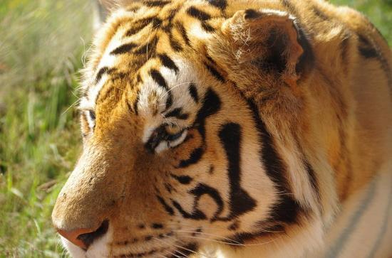 Akwaaba Lodge: tiger