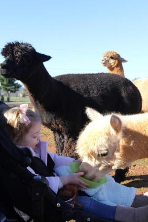 Hardy, VA: Everybody gets to feed the alpacas