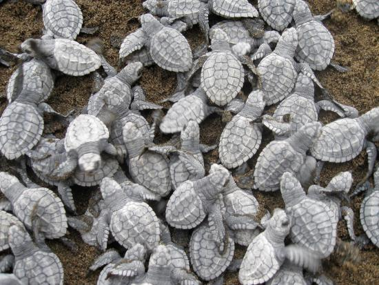 Drake Bay, Costa Rica: Baby Hawksbill Sea Turtles Hatching