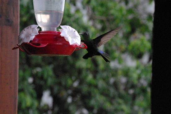 Résidence Les Hauts de Deshaies : de la villa ARUBA les colibris viennent boire le nectare (à 50cm de nous)