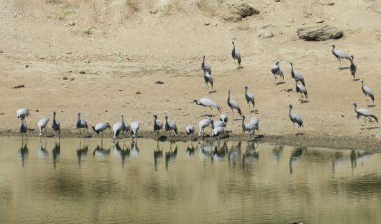 Demoiselle Cranes - Picture of Overlander India - Private