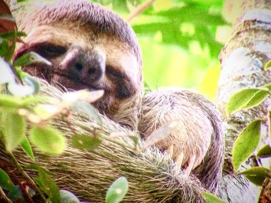 Costa Rica Jade Tours: Picture of a sloth Jason took through his scope!