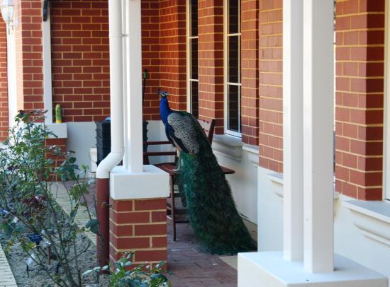 Brigadoon, Australië: Resdient Peacock on Verandeh
