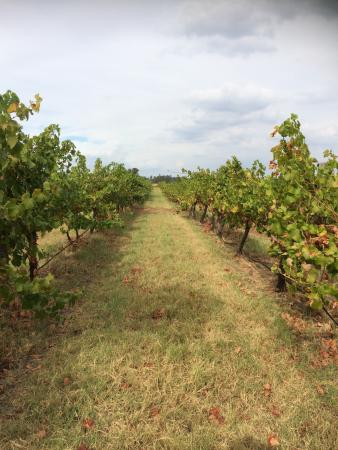 St Leonards Vineyard: photo1.jpg