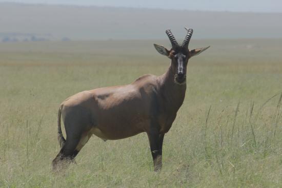 "Oloi Karere Mara Camp : antilope topi o antilope ""blue jeans""..."