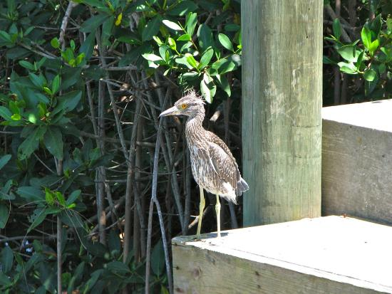 Longboat Bay Club: Cute bird