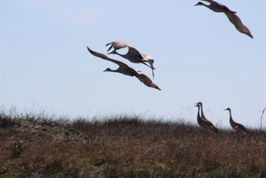 Port O'Connor, TX : Sandhill Cranes