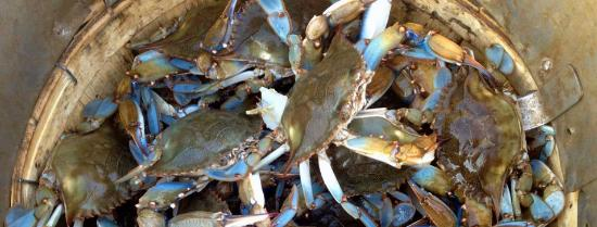 Kittanning, PA: Maryland Blue Crabs