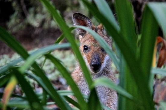 Wallaby Ridge Retreat: Meet our namesake Red Neck Wallaby