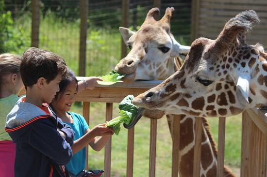 Norristown, PA: Giraffe feedings available Memorial Day through Labor Day