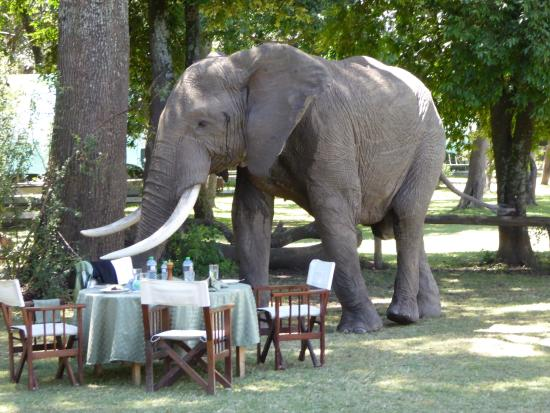 This elephant was a frequent visitor