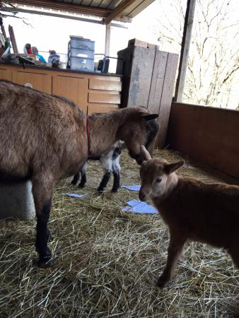 Perugia Farmhouse B&B: There were three baby goats when we were there!