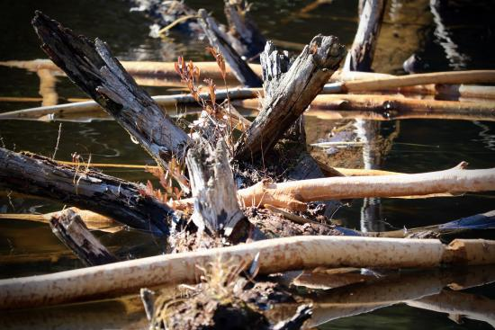 Oneonta, NY: The foundation for a beaver dam