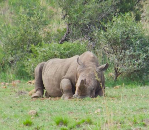 Sleeping Rhino Stock Photo - Image: 39736781