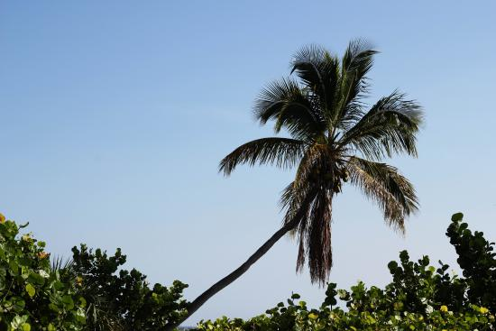 Jensen Beach, FL: Palm Tree