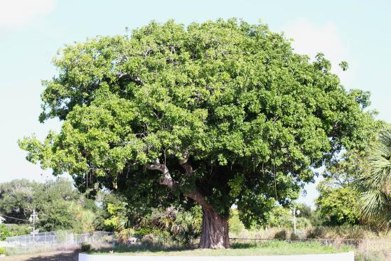 Jensen Beach, FL: Shade Tree