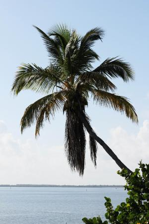 Jensen Beach, FL: Palm Tree over Indian River