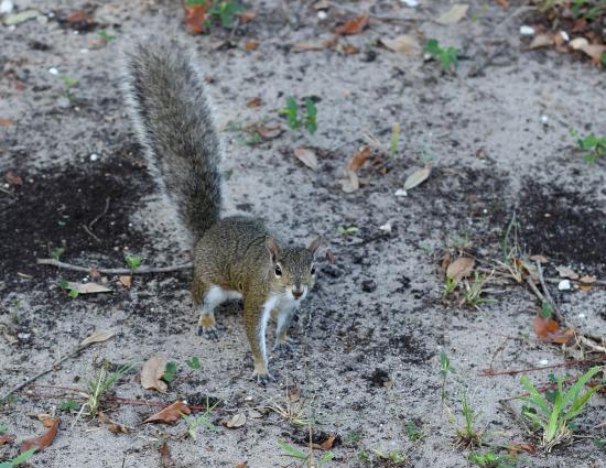 Jensen Beach, فلوريدا: Squirrel Close-up