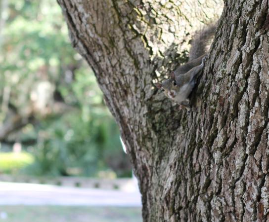 Jensen Beach, فلوريدا: Squirrel in Tree