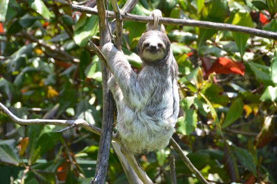 3 toed sloth hanging around picture of toucan rescue ranch