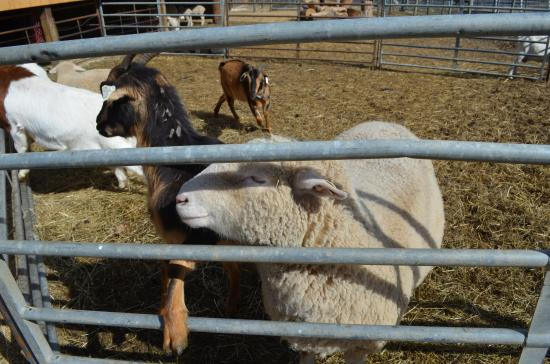 Troy, NH: More farm animals